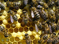 Life and reproduction of bees Royalty Free Stock Photography