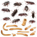 Lifecycle of a Mealworm composition, Tenebrio Stock Photo