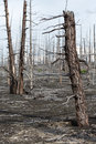Lifeless desert landscape of Kamchatka: Dead wood (Tolbachik Vol Royalty Free Stock Photo