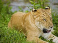 Liger se couchant sur l'herbe Photos libres de droits