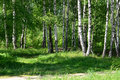 Light birch wood in a summer sunny day Royalty Free Stock Photo