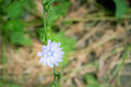 Light blue chicory flower Royalty Free Stock Photo