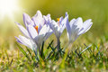 Light blue crocusses on a meadow in spring close up backlighting flowers Stock Images