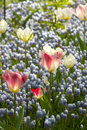 Light blue grape hyacinths, white and pink tulips Royalty Free Stock Photo
