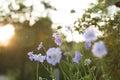 Light Blue Pincushion Flowers
