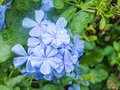 Light blue plumbago flower with water drops Royalty Free Stock Image