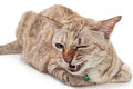Light brown cat with angry face on white background sitting Royalty Free Stock Image