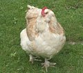 Light brown chicken on green grass high angle shot of a walking Stock Photos