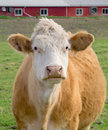 Light Brown Cow Royalty Free Stock Photo