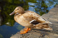 Light brown duck sitting on bricks near canal Stock Photos