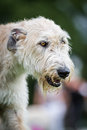 Light brown irish wolfhound a very one of the largest dog breeds in the world Stock Photography