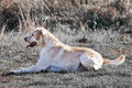 Light brown labrador on field. Royalty Free Stock Image