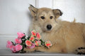 Light brown mongrel dog with a bouquet of roses is terrier Royalty Free Stock Images