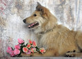 Light brown mongrel dog with a bouquet of roses is terrier Stock Photo