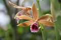 Light brown swamp orchid also known as greater lily nun s and veiled its scientific name is phaius tancarvilleae Stock Image