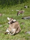 A light brown swiss cow cows in meadow along the silvretta highway in austria Royalty Free Stock Photo