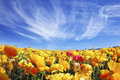 The light cirrus clouds flying across a sky huge fields of blossoming garden buttercups ranunculus asiaticus wonderful spring Stock Image
