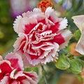 Light and dark pink carnation flower closeup natural background Stock Photo