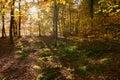 Light flooded autumn forrest near Haltern in NorthrheinWestphalia in Germany. Royalty Free Stock Photo
