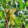 Light grapes sunny grape in field on france Royalty Free Stock Photos