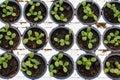stock image of  lot of lettuce seedlings