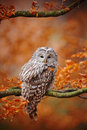 Light grey Ural Owl, Strix uralensis, sitting on tree branch, at orange leaves oak forest