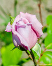 Light mauve rose on branch in the garden close up Stock Photo