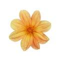 Light orange dahlia a isolated on white background Royalty Free Stock Photo