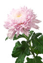 Light pink chrysanthemum isolated on white background Stock Photos