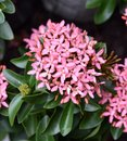 Light Pink Colored Flame of Wood Flower Royalty Free Stock Photo