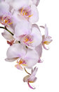 Light pink isolated orchid inflorescence Stock Photography
