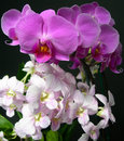 Light pink and mauve orchids closeup on deep purple against a black background Stock Images