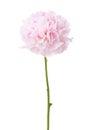 Light pink peony isolated on white background Royalty Free Stock Photo