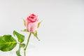 Light pink rose isolated on white background Royalty Free Stock Photo