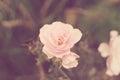 Light pink rose Royalty Free Stock Photo