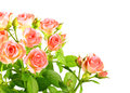 Light pink roses with green leafes Stock Image