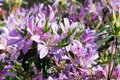 Light Purple Colored Azalea Flowers in Bloom Royalty Free Stock Photo