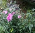 Light purple Flos hibisci,shrub althea flower, Hibiscus, in full bloom Royalty Free Stock Photo