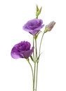Light purple flowers Royalty Free Stock Photo
