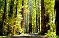 Light through the redwoods a beam of shines Stock Photo