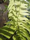 Light and shadow on green fern Royalty Free Stock Photo
