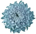 Light turquoise flower chrysanthemum isolated on white background. For design. Clearer focus. Closeup. Royalty Free Stock Photo