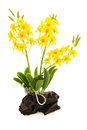 Light yellow orchid handmade flowers isolated on white background from the soil Royalty Free Stock Photo