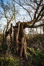 Lightening damaged willow tree