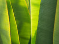 Ligth shine on overlapping banana palm tree long leaves Royalty Free Stock Image