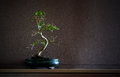 Ligustrum Chinensis bonsai Stock Photo