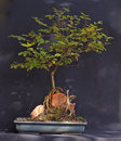 Ligustrum dei bonsai Fotografia Stock