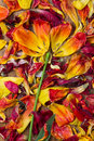 Like a flower arranged petals of tulips Royalty Free Stock Photo