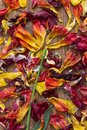 Like a flower arranged withered petals of tulips Royalty Free Stock Photo