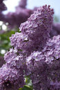 The lilac Royalty Free Stock Photo